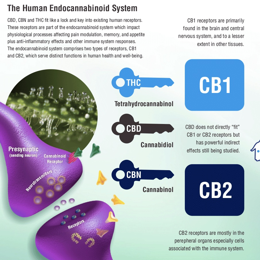 Cannabinoid Deficiency and Its Impact on Human Health and Disease, Part 3