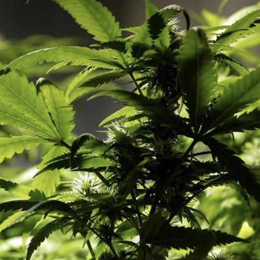 California ready to go green with legalization of marijuana in 2018