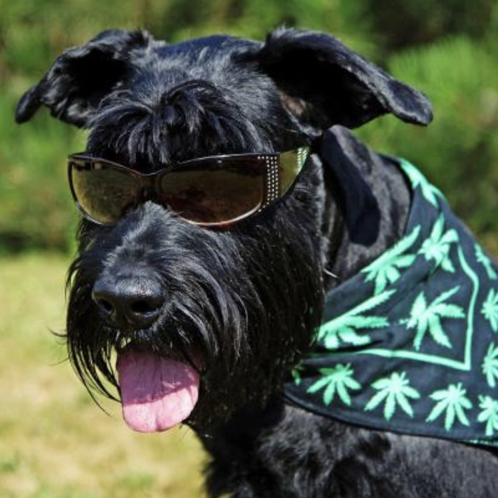 N.Y. pol seeks to give veterinarians power to prescribe pot to pets with new bill