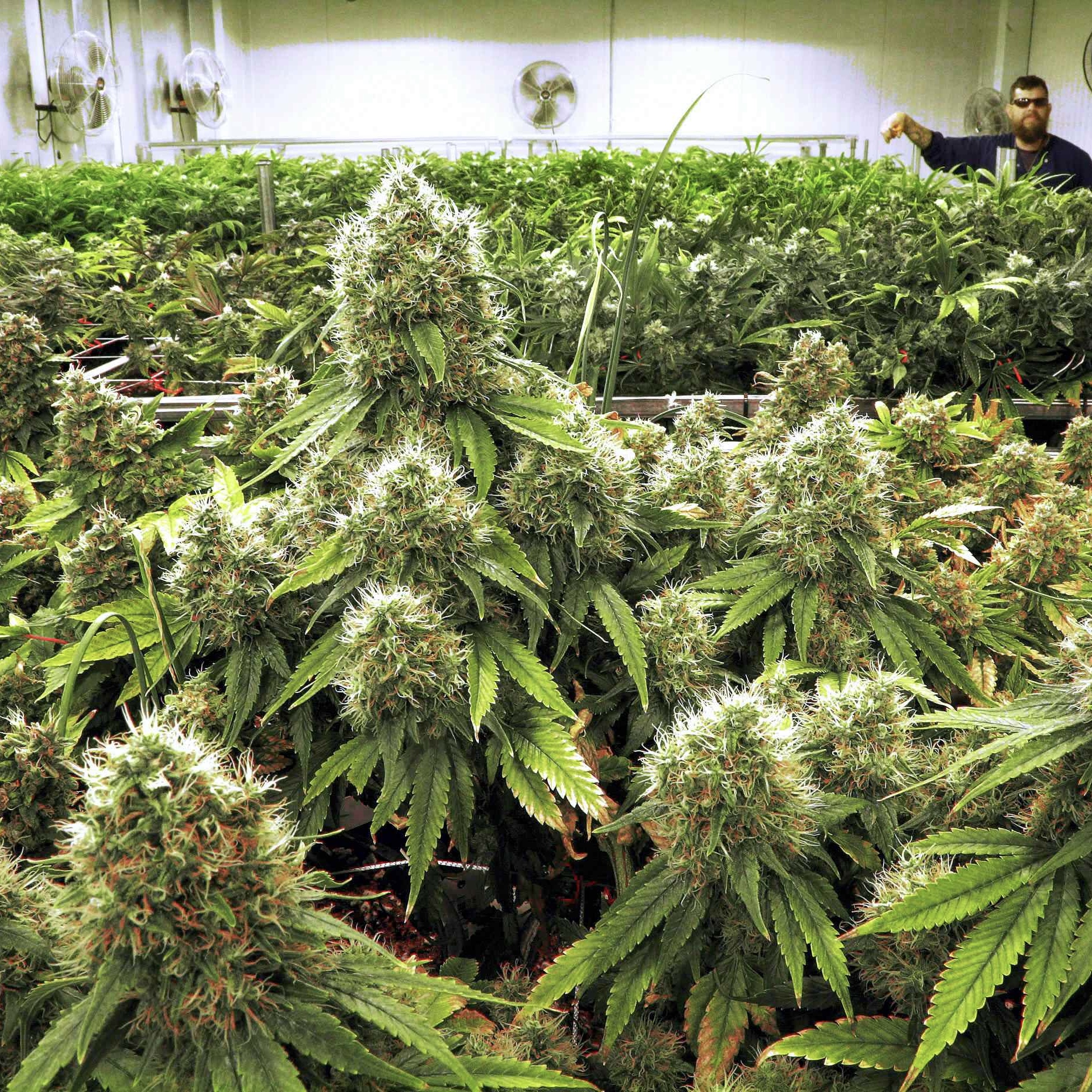 Medical marijuana: Painesville Township, Wickliffe officials welcome dispensaries